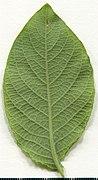 2020. Herbarium. Salix caprea. img-050.jpg
