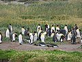 2 penguins lying down King Penguin Colony Tierra del Fuego Chile.jpg