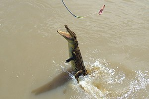 Adelaide River - Image: A140, Adelaide River, Northern Territory, Australia, saltwater crocodile misses bait, 2007