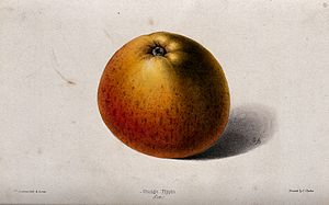 Cox's Orange Pippin - Illustration of the fruit