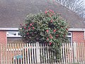 A Camellia out in January^ - geograph.org.uk - 325495.jpg