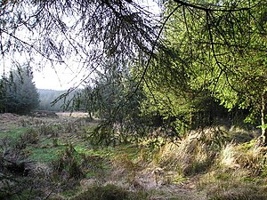 A Clearing. A sunlit clearing in Ladymuir Wood...