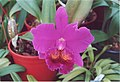 A and B Larsen orchids - Brassolaeliocattleya Lucky Strike Mangkorn No2 986-24.jpg