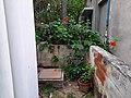 A corner hibiscus plant.jpg