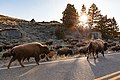 A group of bison walks along the road towards Lamar Valley (33942442128).jpg
