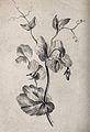 A pea plant (Pisum species); twining stem. Pencil drawing. Wellcome V0043454.jpg