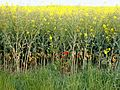 A rapeseed field in the Lincolnshire Vales, South Kesteven, England 8.jpg