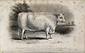 A short horned bull. Etching by E. Hacker, ca 1849, after W. Wellcome V0021628.jpg