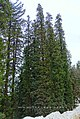 Abies pindrow India32.jpg