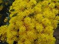 Acacia baileyana4.jpg