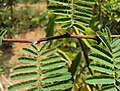 Acacia catechu 04.JPG