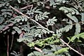 Acacia leucophloea in Vanasthalipuram, Hyderabad, AP W IMG 9226.jpg