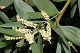 Acacia longifolia fg01.JPG