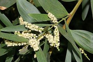 Acacia longifolia - Image: Acacia longifolia fg 01