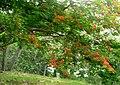 Acacia roja - Flmaboyant (Delonix regia) (14611568454).jpg