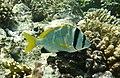 Acanthopagrus bifasciatus;Twobar seabream..DSCF3994OB.jpg