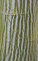Acer davidii (1361947307).jpg
