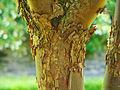 Acer griseum - écorce.jpg
