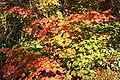 Acer japonicum 'Vitifolium' JPG1Fub.jpg