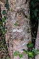 Acer monspessulanum in Tarn (4).jpg