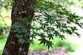 Acer palmatum in Eastwoodhill Arboretum (3).jpg