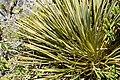 Aciphylla colensoi in Dunedin Botanic Garden 01.jpg