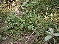 Acmella ciliata (4190554260).jpg