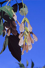 Javorovec jaseňolistý - plody