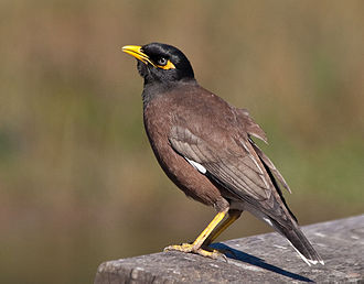 Koh Kong (island) - Common Myna