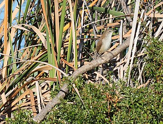 Lesser swamp warbler - A. gracilirostris on perch in bulrush
