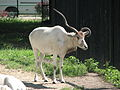 Addax nasomaculatus in the Silesian Zoological Garden 04.JPG