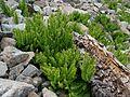 Adiantum aleuticum subsp. calderi - Flickr - brewbooks.jpg