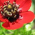 Adonis aestivalis inflorescence (39).jpg