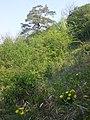 Adonis vernalis sl42.jpg