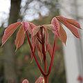Aesculus parviflora 04.jpg