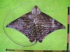 Aetomylaeus maculatus 01.jpg