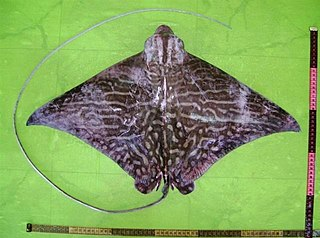 Mottled eagle ray species of fish