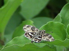 African Marbled Skipper1 (UP).JPG
