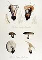 Agaricus brevipes — Flora Batava — Volume v14.jpg