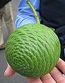 Agathis robusta cone.jpg