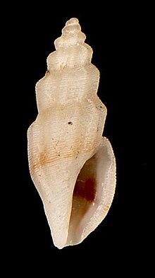 Agathotoma ecthymata - Wikipedia