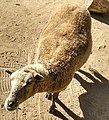 Agcz sheep.jpg