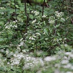 Ageratina altissima SCA-5483.jpg