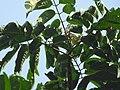 Aglaia spectabilis flowering2410.jpg