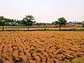 Agriculture land @ Gundalur - panoramio.jpg