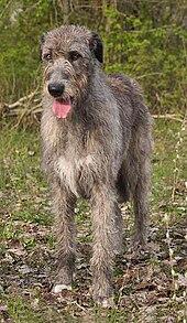 Irish Wolfhound 50 Most Popular Breeds
