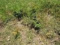 Ailanthus altissima (Mill.) Swingle (AM AK301469-2).jpg