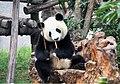 Ailuropoda melanoleuca 熊貓 panda - panoramio.jpg