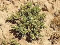 Aizoon hispanicum 1b.JPG