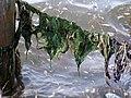 Algen in der Nordsee.jpg